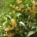 Tanaman Sweet Olive (Osmanthus Fragrans)