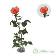 Tanaman Mawar Jingga (Orange Rose)