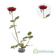 Tanaman Mawar Merah Tanpa Duri