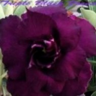 Benih Adenium 'Triple Black Forest'