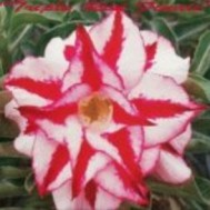 Benih Adenium 'Triple Red Finale'