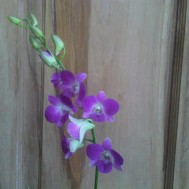 Tanaman Anggrek Dendrobium 1