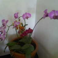 Tanaman Anggrek Phalaenopsis Pink
