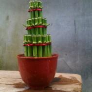 Tanaman Bambu Hoki Pagoda 3 Tingkat Hijau