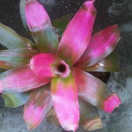 Tanaman Bromelia Royal Jelly