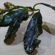 Bucephalandra sp. 'Maia' 3 Pcs