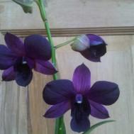 Tanaman Anggrek Dendrobium 2