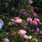 Tanaman Mawar Barbie (Barbie or Baby Roses)