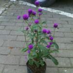 Tanaman Bunga Kancing