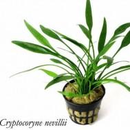Cryptocoryne nevillii 3 Pcs