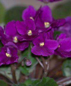 Jual Tanaman Violces African Violet Bibitbunga Com