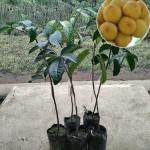 Tanaman Dukong (Duku Malaysia)