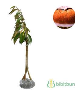 Tanaman / Tanaman Buah / Tanaman Durian