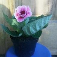 Tanaman Gloxinia Pink