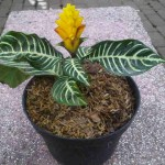 Tanaman Green Leaved Aphelandra