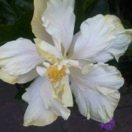 Hibiscus Double Ivory Bangkok