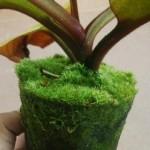 Lumut Hidup (Forest Moss)
