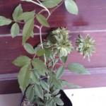 Tanaman Mawar Hijau (Green Rose)