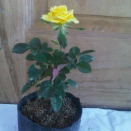 Tanaman Mawar Kuning (Yellow Rose)