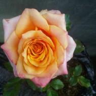 Tanaman Mawar Orange Equador