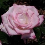 Tanaman Mawar Pink Tipped