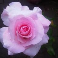 Tanaman Mawar Pink Tissue