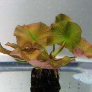 Nuphar japonicum var. rubrotinctum