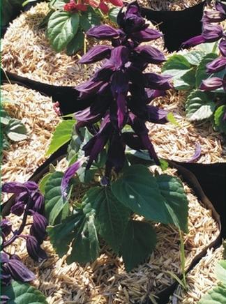 purple-salvia