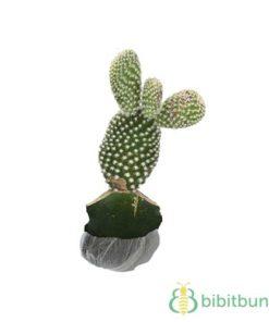 Tanaman Kaktus Mickey Mouse