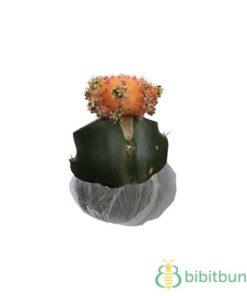 Tanaman Kaktus Bright Orange Siklam