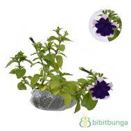 Tanaman Petunia Purple Picotee