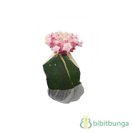Tanaman Kaktus Pink Siklam
