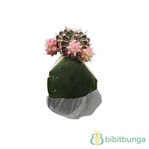 Tanaman Kaktus Purple Siklam