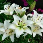 Tanaman Casablanca Lily