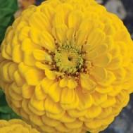 Zinnia Giant Dahlia Golden Yellow