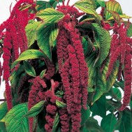Benih Amaranth Love Lies Bleeding