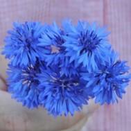 Benih Centaurea Florist Blue Boy