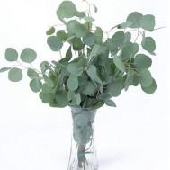 Benih Eucalyptus Silver Dollar