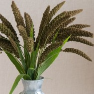 Benih Setaria Highlander Ornamental Grass