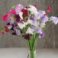 Benih Sweet Pea Royal Mix