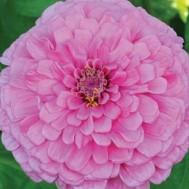 Benih Zinnia Giant Dahlia Bright Pink