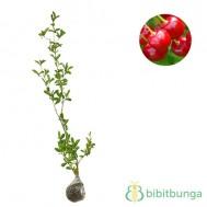 Tanaman Cherry Vietnam