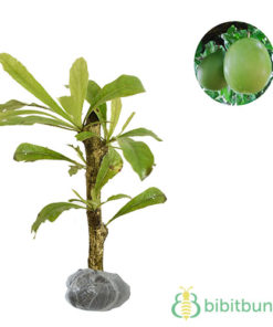 Tanaman Buah Maja (Bael Fruit)