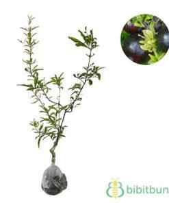 Tanaman Delima Hitam (Black Pomegranate)