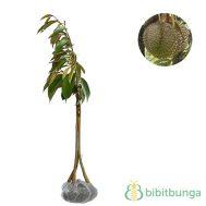 Tanaman Durian Bawor Kaki Tiga 60-80 cm