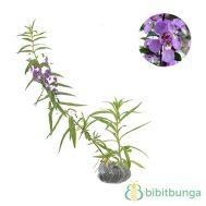 Tanaman Angelonia Ungu (False Lavender)