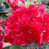 Benih Adenium Strawberry