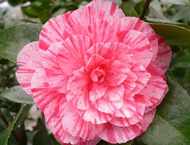 Mengenal Bunga Camellia Lebih Dekat Bibitbunga Com