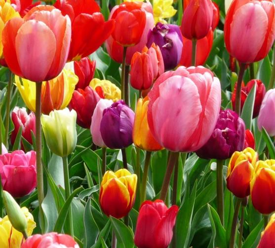 Bunga tulip memiliki banyak warna dan tidak habis potensi warna yang dimiliki karena setiap hari semua orang berlomba-lomba menyilangkan tulip.