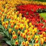 Umbi Tulip Mixed